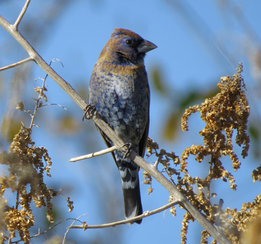 Bkue Grosbeak immature Sweetwater Wetands 1_11_2015