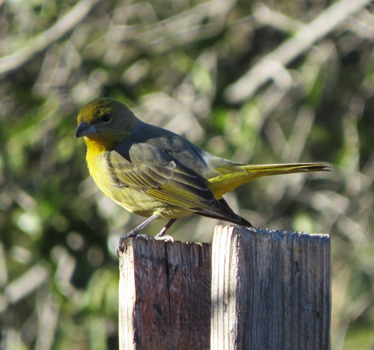 Hepatic Tanager female Madera Canyon 1_6_2015