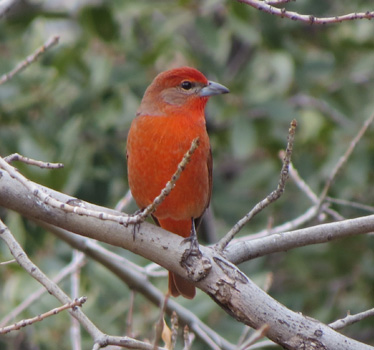 Hepatic Tanager male Madera Canyon 1_9_2015