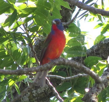 Painted Bunting Clinton Lake 5_28_2014