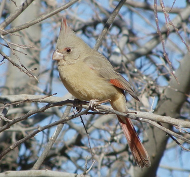 Pyrrhuloxia female 1_8_2012