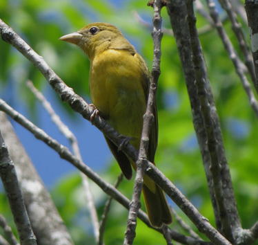 Summer Tanager female Weston Bend 5_25_2015