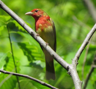 Summer Tanager first spring Blue Springs 5_18_2014