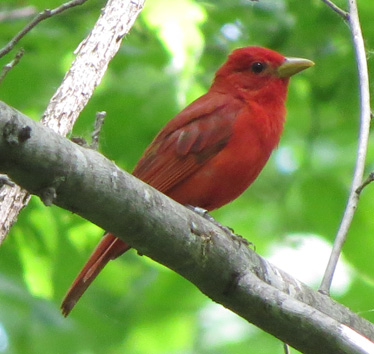 Summer Tanager male Wyandotte Lake 5_29_2014