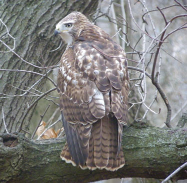 Red-tailed Hawk juv