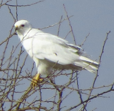 Red-tailed Hawk leucistic