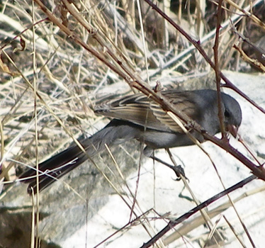 Black-chinned Sparrow 1_6_2013