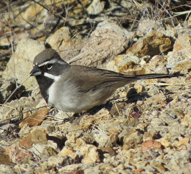Black-throated Sparrow at Gates Pass 1_24_2015