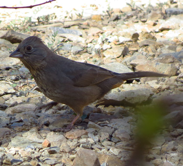 Canyon Towhee Florida Canyon 1_7_2014