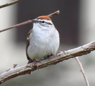 Chipping Sparrow 127th Synagogue 4_3_2014