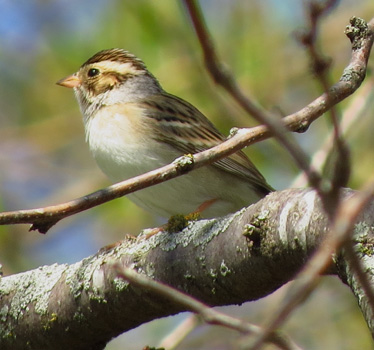 Clay-colored Sparrow Heritage Park 5_4_2014
