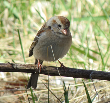 Field Sparrow DeSoto 95th 4_4_2015