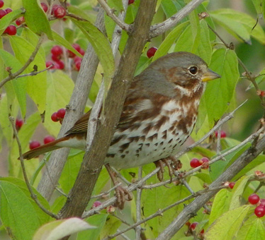 Fox Sparrow Ironwoods 10_30_2012