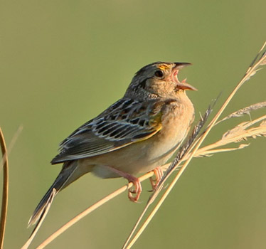 Grasshopper Sparrow SEllis 10_9_2011