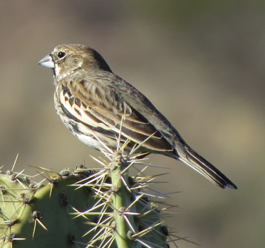 Lark Bunting female at Cienega Creek 1_21_2015