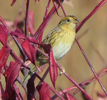 LeConte's Sparrow Prairie Center 10_26_2014