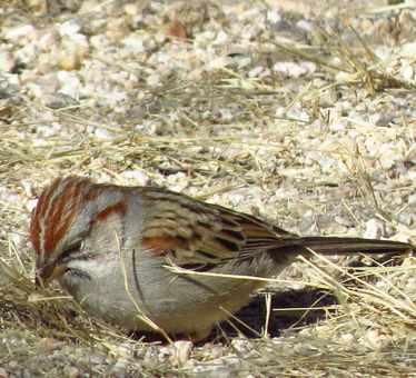 Rufous-winged Sparrow Catalina1_13_2014