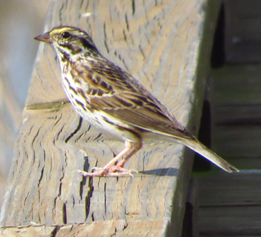 Savannah Sparrow Anahuac 3_21_2014