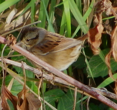 Swamp Sparrow Ironwoods 10_30_2012