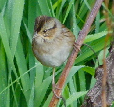Swamp Sparrow front Ironwoods 10_30_2012