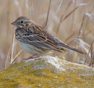 Vesper Sparrow Ogg Road Farm 4_2_2015