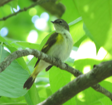 American Redstart female Blue Springs Lake 5_18_2014