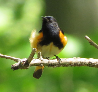 American Redstart Weston Bend 5_20_2014