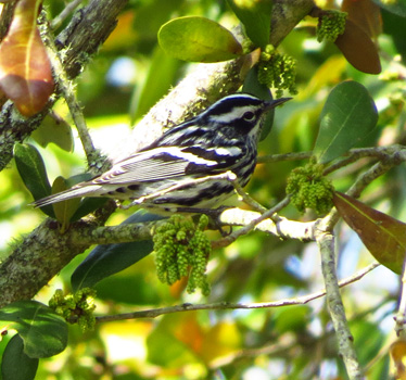Black and White Warbler High Island 3_19_2014