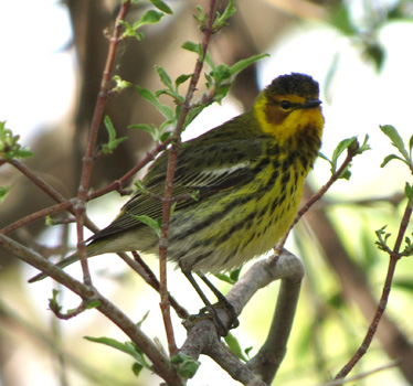 Cape May Warbler Magee Marsh 5_14_2015