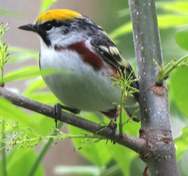 Chestnut-sided Warbler Magee Marsh 5_16_2015