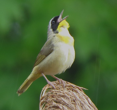 Common Yellowthroat Maumee Bay Lodge 5_15_2015