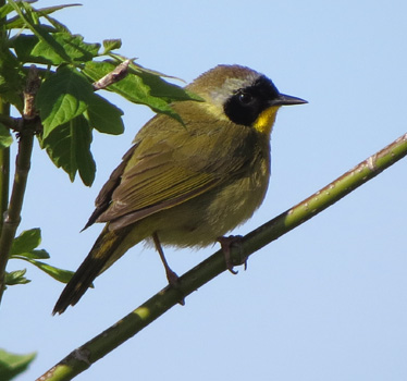 Common Yellowthroat Metzger Marsh 5_8_2016