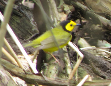 Hooded Warbler Magee Marsh 5_7_2016