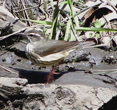 Louisiana Waterthrush 4_19_2013