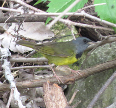 Mourning Warbler Magee Marsh Estuary 5_16_2015