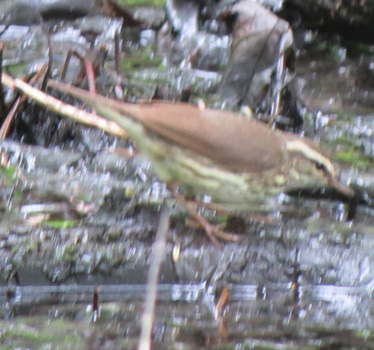 Northern Waterthrush Maumee Bay Lodge 5_15_2015