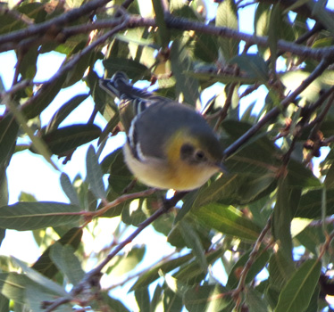 Olive Warbler at Madera Canyon 1_15_2015