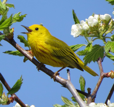 Yellow Warbler male Magee Marsh 5_8_2016