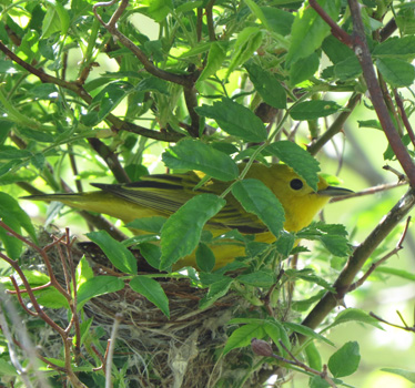 Yellow Warbler on nest Magee Marsh 5_14_2015