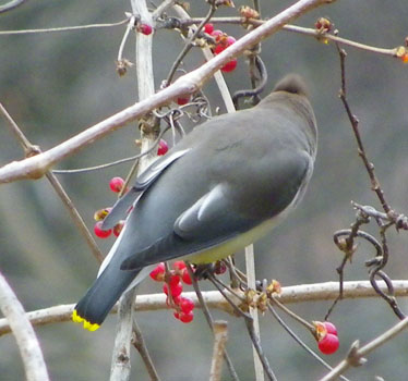 Waxwing back