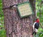 Red-headed Woodpecker at suet